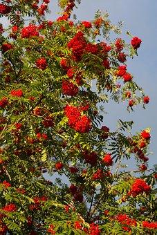 Mountain Ash, Ash, Berries, Red, Rowan