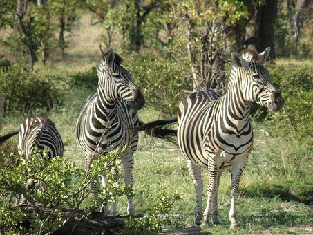 Zebras, Wild, Animal, Wildlife, Mammal, Striped, Fauna