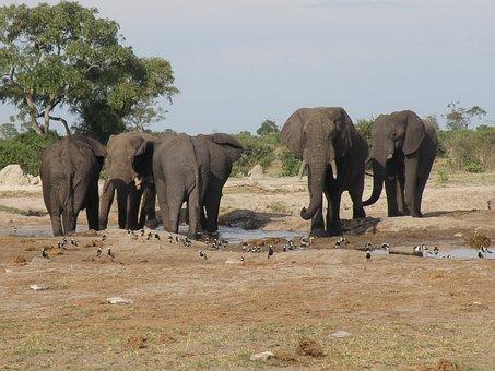 Elephants, Wild, Wildlife, Animal, Herd, Water Hole
