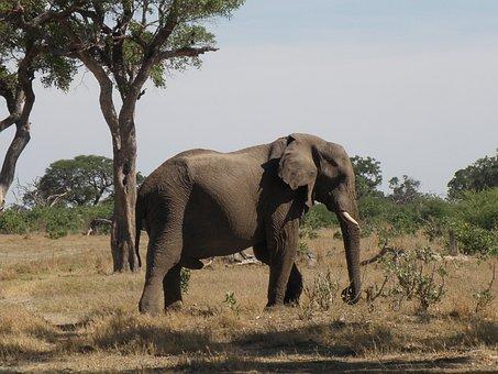 Elephant, Wild, Wildlife, Animal, Fauna, Jungle, Large