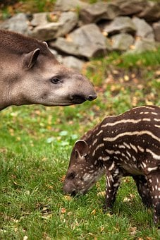Animal, Baby, Brown, Cute, Grass, Mammal, Mother, Nose