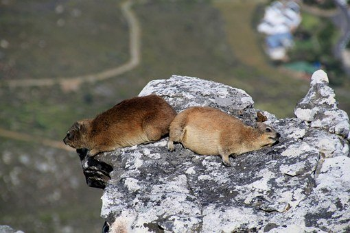 Hyrax, Table Mountain, Cape Town, South Africa, Animal