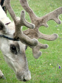 Reindeer, Antlers, Horns, Animals, Meadow, Sasanka