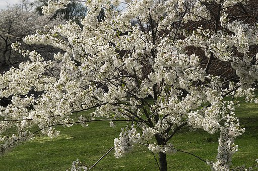 Flowers, Cherry Blossoms, Tree, Spring, Druid Hill Park