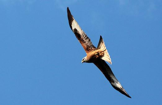 Red Kite, Milvus Milvus, Red Milan, Raptor, Habichtart