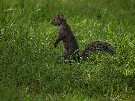 Eastern, Gray, Squirrel, Squirrels, North, America