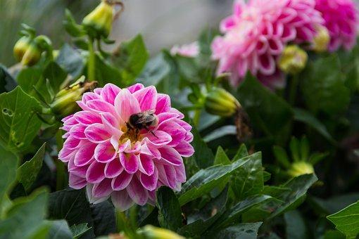 Dahlia, Flower, Plant, Garden, Perk, Bumblebee