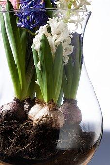 Onion, Hyacinth, Hyacinthus Orientalis, Genus