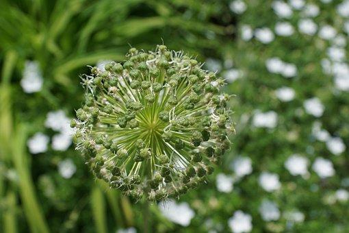 Leek, Flower, Blossom, Bloom, Flora, Nature, Spring