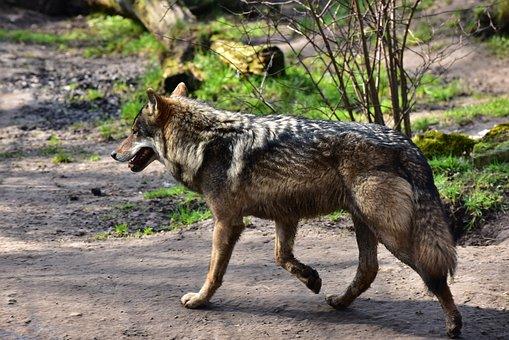 Wolf, Run, Area, Brown, Animal Portrait, Animal