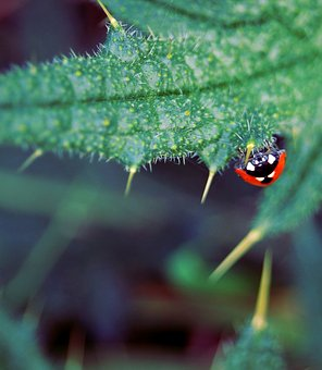 Ladybug, Insect, Beetle, Nature, Thistle, Upside Down
