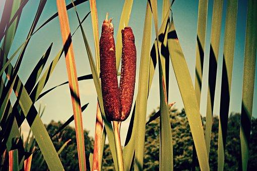 Cattail, Plant, Latifolia, Broadleaf, Bulrush