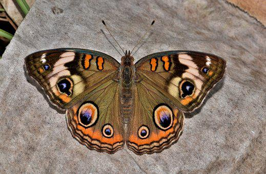 Butterfly, Common Buckeye, Insect, Eyes, Flying Insect