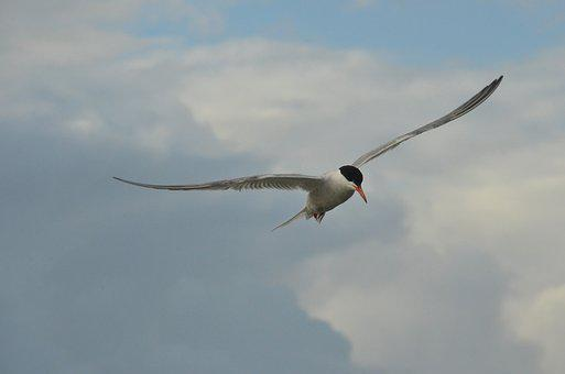 Bird, Common Tern, Seagull, Wing, Fly, Air, Clouds