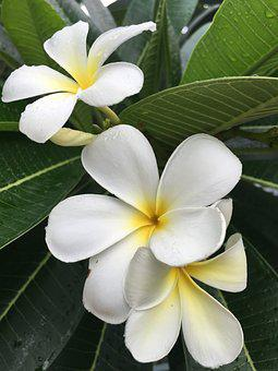 Plumeria, Champa, Floral, Cutout, Backlit, Freshness