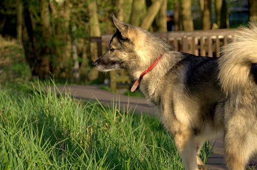 Dog, Leica, Husky, Wolf, Meadow, Nature, Summer