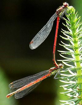 Dragonflies, Dragonflies Mating, Pairing, Red