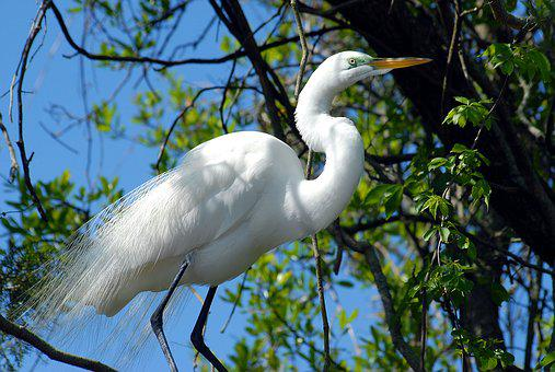 Great White Egret, Heron, Bird, Wildlife, Tropical