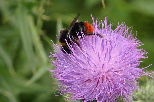 Hummel, Thistle, Blossom, Bloom, Pollen, Nectar, Flower