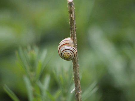 Snail, Shell, Mollusk, Nature, Edible, Garden, Wildlife