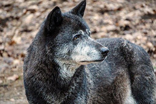 Wolf, Zoo, Wild Animal, Enclosure, Nature, Predator