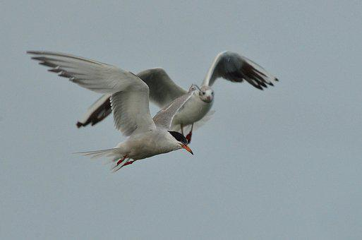 Bird, Common Tern, Seagull, White, Fly, Air, Wing, Sea