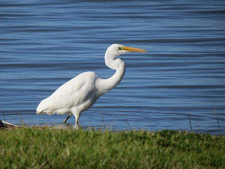 Great Egret, Goolwa, South Australia, White
