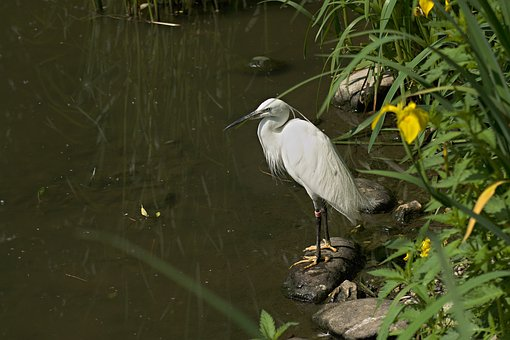 Heron, Bird, Animal, Feather, Water, White, Nature