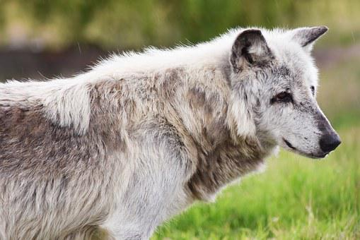 Canadian Timber Wolf, Animal, Wolf, Predator, Wolves