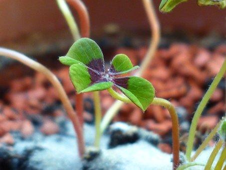 Lucky Clover, Klee, Plant, Vierblättrig, Luck