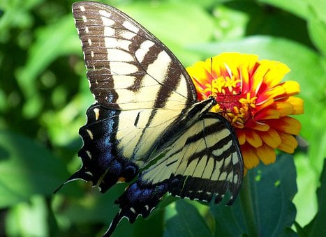 Scarce Swallowtail, Butterfly, Animal, Flying, Insect