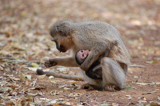 Monkey, Zoo, Habitat, Wildlife, Jungle, Safari, Mammal