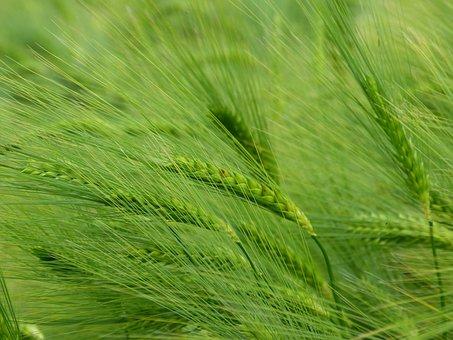 Barley, Cereals, Hordeum Vulgare, Ear, Grain