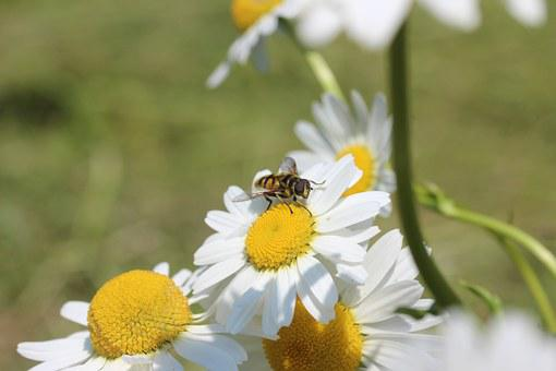 Daisies, Hoverfly, Flowers, Summer, Plant, White