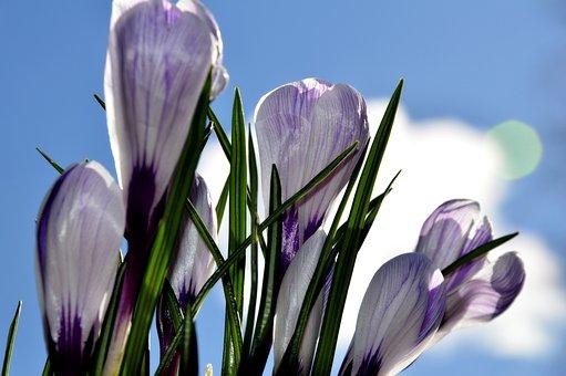 Krokus, Flowers, Nature, Spring, Flower, Saffron