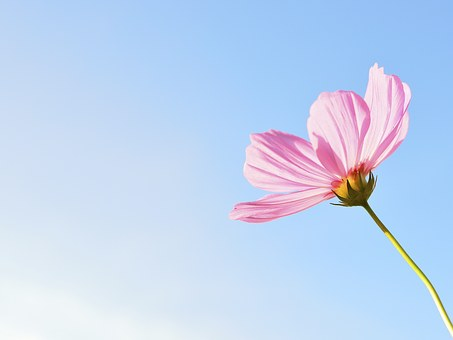 Flower, Nature, Plant, Flowers, Pink, Cosmos Flowers