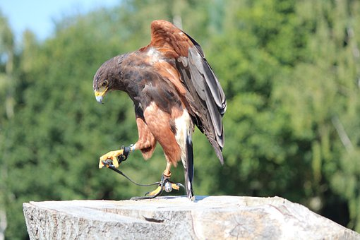 Wild Bird, Raptor, Animal World, Bill, Harris Hawk