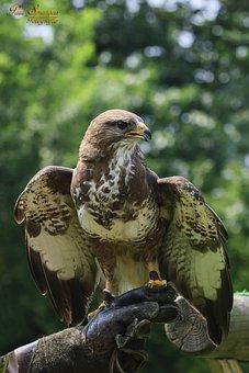 Bird Of Prey, Birds, Nature, Common Buzzard