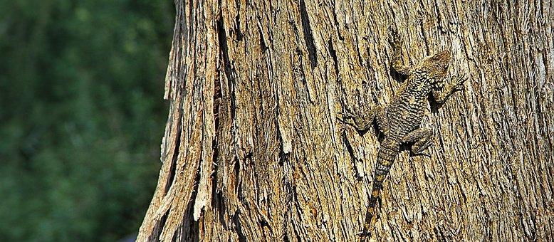 Lizard, Camouflage, Bark, Climb, Tree Hunting, Reptile