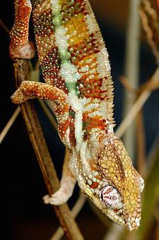 Chameleon, Lizard, Animal World, Animal, Nature