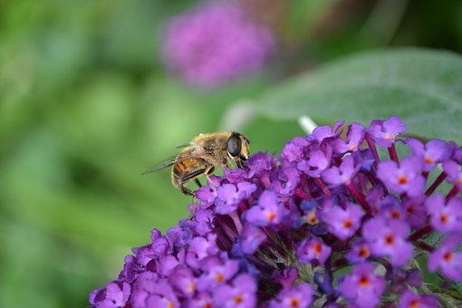 Hoverfly, Hornet Mimic, Volucella Zonaria, Fly, Insect