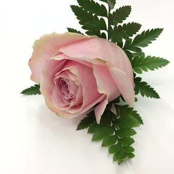 Rose, Pink, Pale, Buttonhole, Flower, Romantic, Love