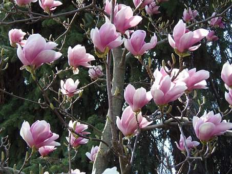 Spring, Margaret Island, Flowers, Pale Pink, Tulip Tree