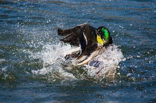 Drake, Duck, Water Bird, Bird, Revier Fight