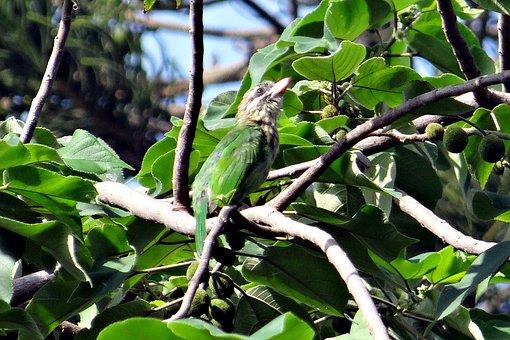 Lineated Barbet, Megalaima Lineata Hodgsoni