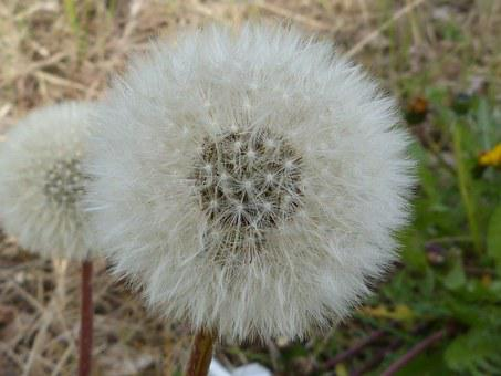 Dandelion, Pollen, Seeds, Bloom, Nature, Blossom, Bloom