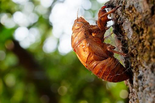 Animal, Cicada, Chantui, The Cicada Shell, Insect