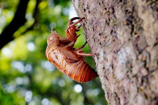 Cicada, Animal, Chantui, The Cicada Shell, Insect