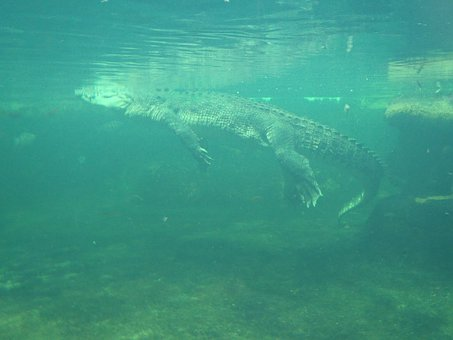 Surfacing Crocodile, Alligator Under Water