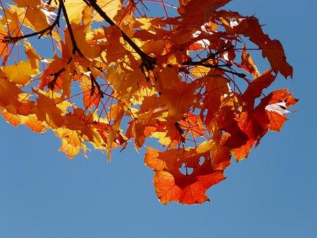 Wind, Autumn, Maple Leaves, Flutter, Blow, Windy, Deris